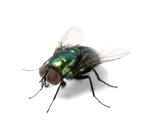 Pest Control Flies