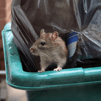 rat_trash