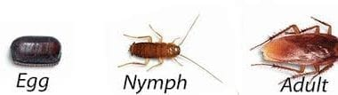 cockroach control, pest control, american cockroach, new south wales, australia