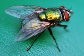 flies, pest control, fly control, new south wales
